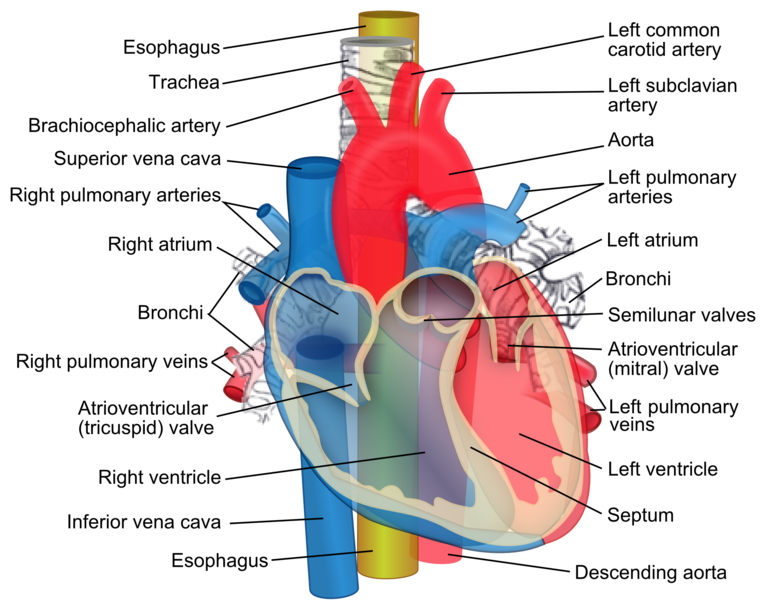 File:Relations of the aorta, trachea, esophagus and other heart structures.png