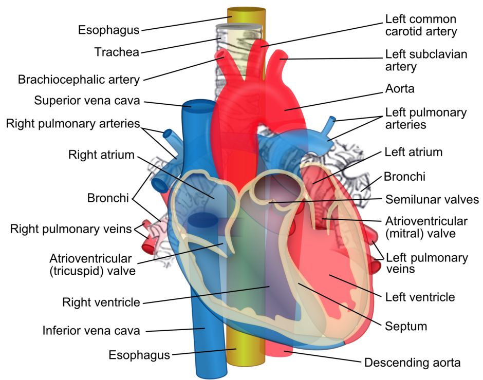 Relations of the aorta, trachea, esophagus and other heart structures