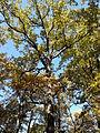 Rezerwat przyrody Dęby w Meszczach 12.35 02.jpg