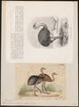 Rhea darwinii - 1700-1880 - Print - Iconographia Zoologica - Special Collections University of Amsterdam - UBA01 IZ18900033.tif