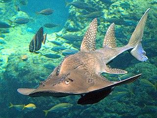 <i>Rhina ancylostoma</i> species of fish