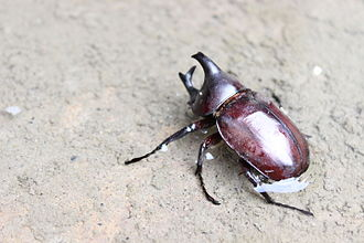 Dynastinae - Xylotrupes sp. - From Kerala, India