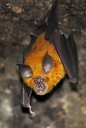 A horseshoe bat