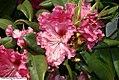 Rhododendron Besse Howells 0zz.jpg