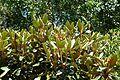 Rhododendron adenogynum - VanDusen Botanical Garden - Vancouver, BC - DSC07307.jpg
