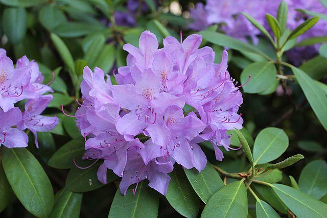 Rhododendron Blüten