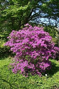 Rhododendron concinnum MS 4411.jpg