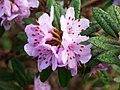 Rhododendron hippophaeoides var. hippophaeoides.(4x3).jpg