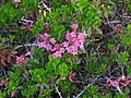 Rhododendron hirsutum RF.jpg