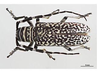<i>Rhytiphora</i> genus of insects