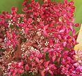 Richea pandanifolia Flowers-2.jpg