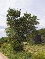 Robinia pseudoacacia and Pinus halepensis, Castelnau-de-Guers 04.jpg