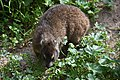 Rock hyrax at Boulders Penguin Colony 01.jpg