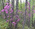Rododendron-daur.jpg