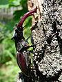 Roháč obecný (Lucanus cervus) 03.jpg
