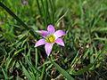 Romulea rosea flower1 (15302539341).jpg