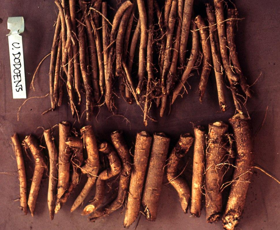 Root cuttings of Ulmus %27Dodoens%27