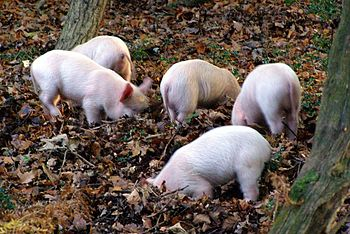 English: Rooting piglets alongside the B3078, ...