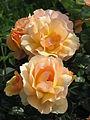 Rosa 'Hansestadt Rostock' 01.JPG