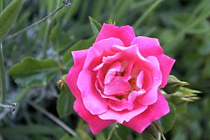 ADR rose - Image: Rosa Heidetraum