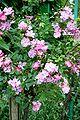 Rosa Lavender Dream - Giverny03.jpg
