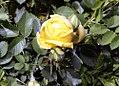 Rosa foetida Persian Yellow 1zz.jpg