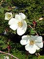 Rosa sericea omeiensis1UME.jpg