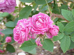 rosier mousseux  'Félicite Bohain'