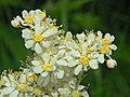 Rosaceae - Filipendula vulgaris (8304679302).jpg