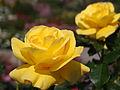 Rose Mirabella バラ ミラベラ (8054006912).jpg