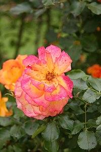 Rose Sahara 20070601 2.jpg