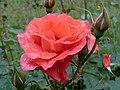 Rose Vincent van Gogh バラ フィンセント ファン ゴッホ (6920673213).jpg