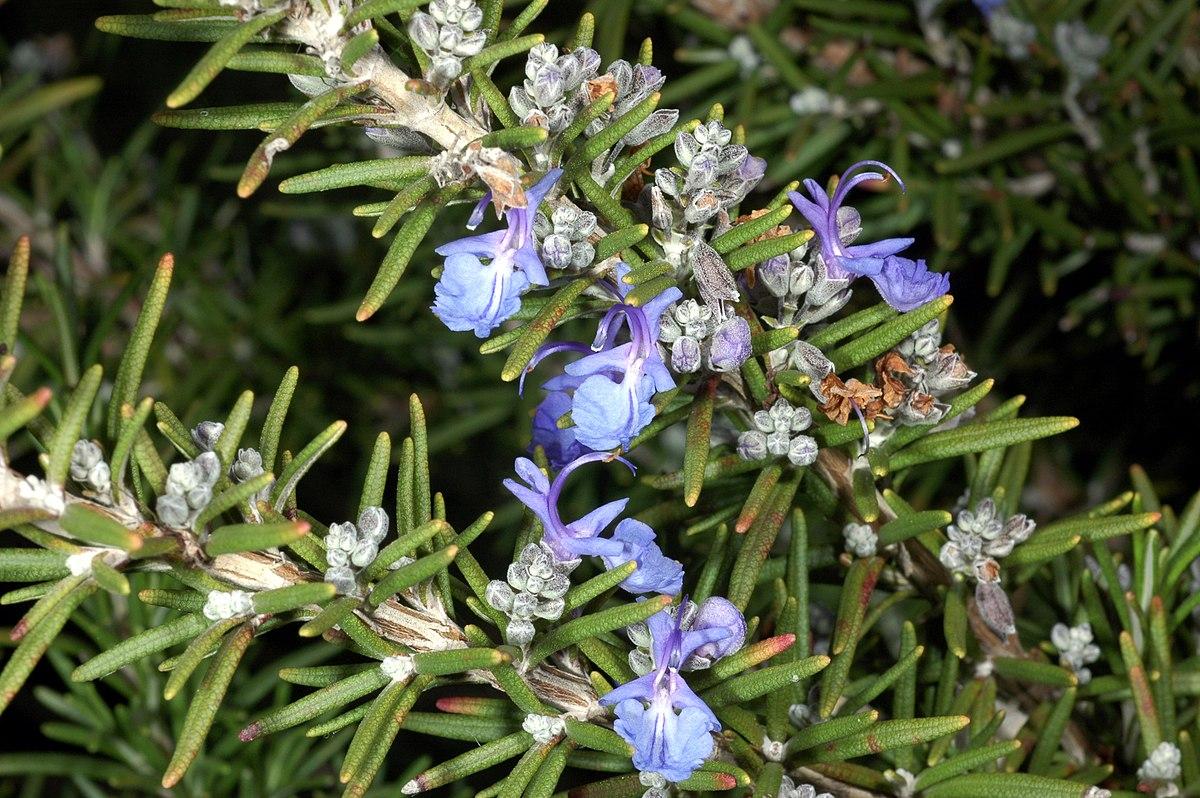 Rosmarinus Wikipedia