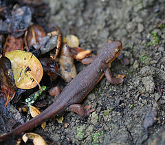 Roughed Skinned Newt (16744025149).jpg