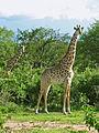 Ruaha giraffes.jpg