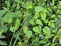 Rubia cordifolia 07.JPG