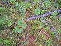 Rubus chamaemorus setting-eheep (5097365249).jpg