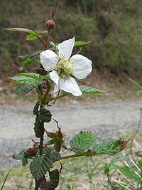 Rubus hirsutus 01.jpg