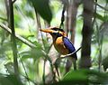 Rufous-collared kingfisher (Actenoides concretus) of Pelawan Forest, Namang Village, Bangka Island, Indonesia.jpg