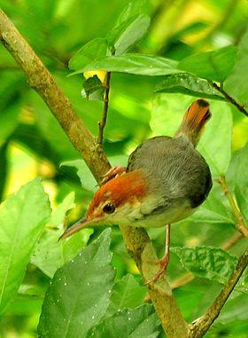 Rufous-tailed Tailorbird Orthotomus sericeus sericeus.jpg