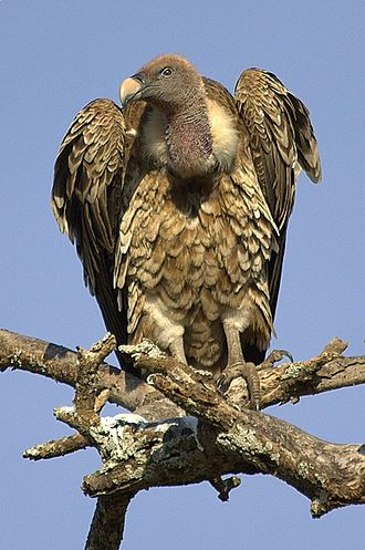 Rüppell's vulture - Image: Ruppelsvulture