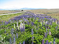 Russell lupins Canterbury New Zealand.jpg