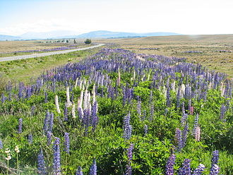 Lupinus polyphyllus - Russell lupines alongside a road in Canterbury, New Zealand.