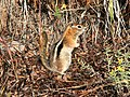 SQUIRREL, GOLDEN-MANTLED (Spermophilus lateralis) (8-20-12) just east of wolf creek pass, co -01 (7909745190).jpg