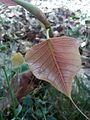 Sacred fig leaf in shahkot, Punjab, Pakistan.jpg