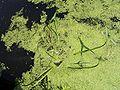 SagittariaSagittifolia-plant-kl.jpg