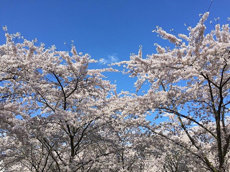 Bestand:Sakura Amsterdamse Bos.jpg