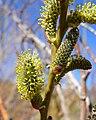Salix lasiolepis 3.jpg