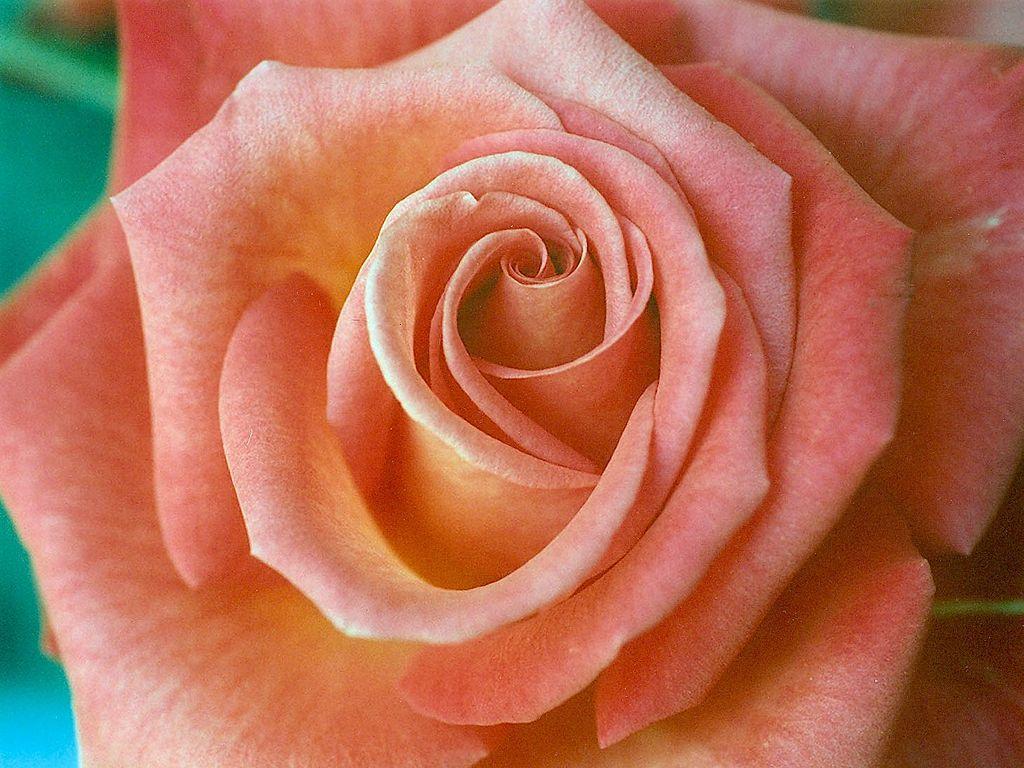 File salmon color wikimedia commons - Peinture couleur peche ...