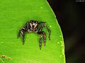 Salticidae (5460501215).jpg